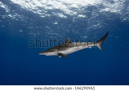 Silky shark in the open ocean - stock photo