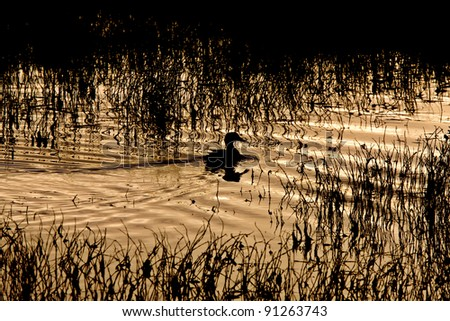 Sillouette of Duck in Pond Sunset Saskatchewan Canada - stock photo