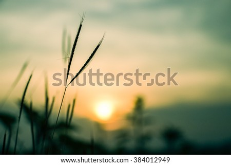 Sillouette of grass flowers at sunset time - soft focus of grass flowers shadow - background, landscape - stock photo