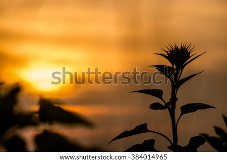 Sillouette of sun flower at sunset time - sunflower shadow at sunset time - stock photo
