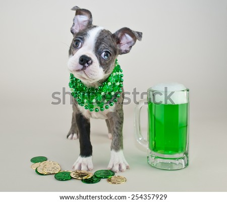 Silly Boston terrier puppy all reading for St Patrick's Day. With his green beer and green and gold coins. - stock photo