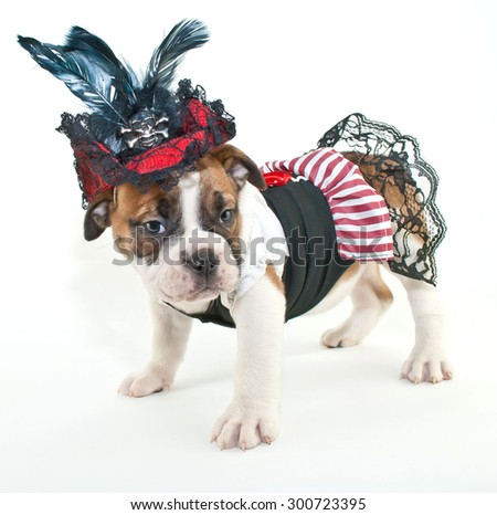 Silly Bulldog puppy dressed up like a pirate wench on a white background. - stock photo