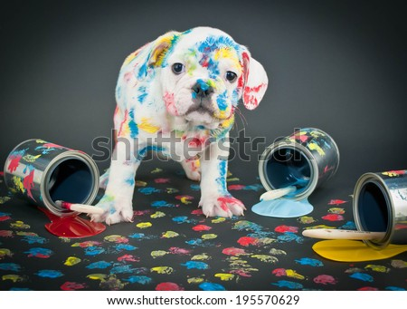 Silly Bulldog puppy that looks like he just got into a bunch of paint and made himself a mess! - stock photo