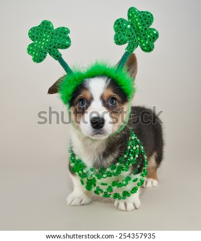 Silly Corgi puppy all dressed up for St Patrick's Day. - stock photo