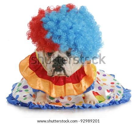 silly dog - english bulldog dressed up like a clown - stock photo