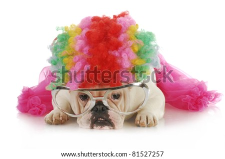 silly dog - english bulldog dressed up like a clown on white background - stock photo