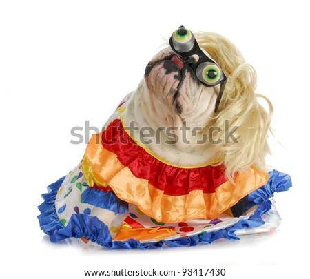 silly dog - english bulldog dressed up like a clown on white background - stock photo
