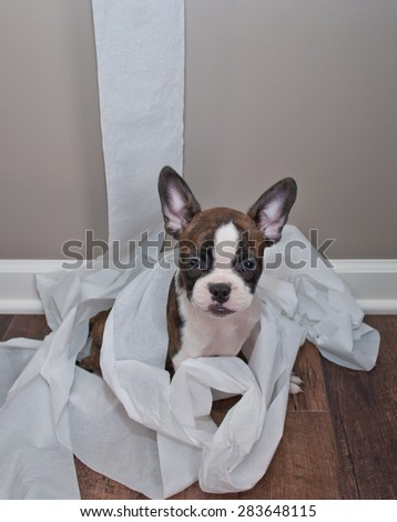 Silly French Bulldog puppy sitting in a pile of unrolled toilet paper with an innocent look on his face.