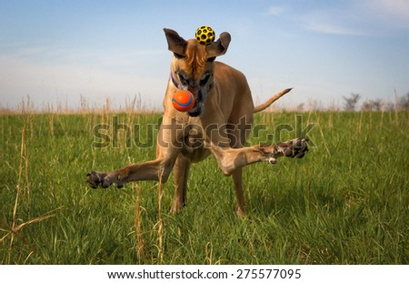 Silly great Dane, arms flailing, missing two balls in green field - stock photo