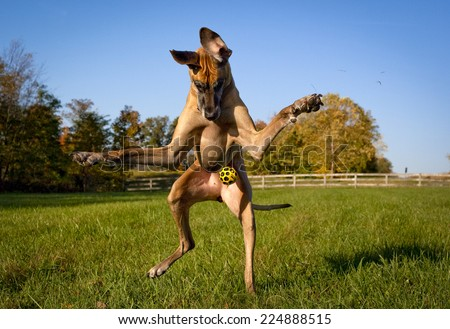 Silly Great Dane looking down trying to catch yellow ball, on hind legs - stock photo