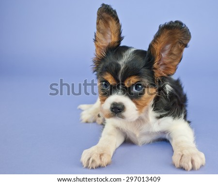 Silly King Charles Cavalier puppy with her ears standing straight up and a mad look on her face with copy space. - stock photo