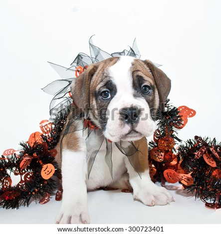 Silly little Bulldog puppy wearing a Halloween collar along with Halloween garland draped around him with copy space.