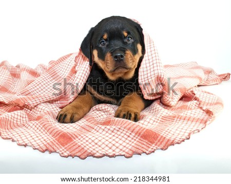 Silly little Rottweiler puppy peeking her head out from under a pink blanket, on a white background.