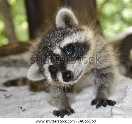 Silly Raccoon - stock photo