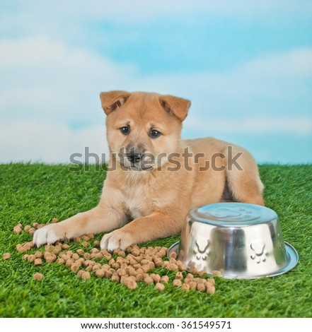 Silly Shiba Inu puppy that spilled her dog food all over the grass and looking guilty about it. - stock photo