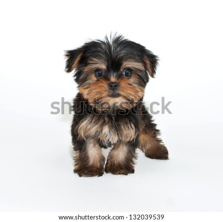 Silly Yorkie puppy that looks like he has an  attitude, on a white background. - stock photo