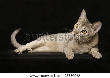 Silver Abyssinian - stock photo