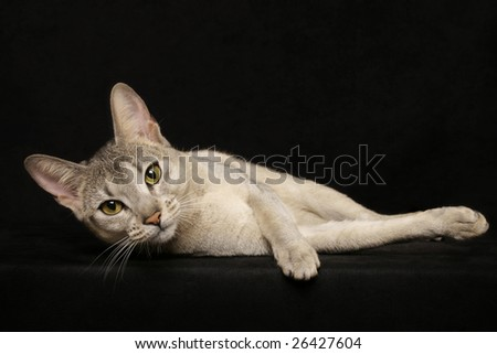 Silver Abyssinian