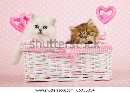 Silver and Gold Chinchilla kittens in pink Valentine basket - stock photo