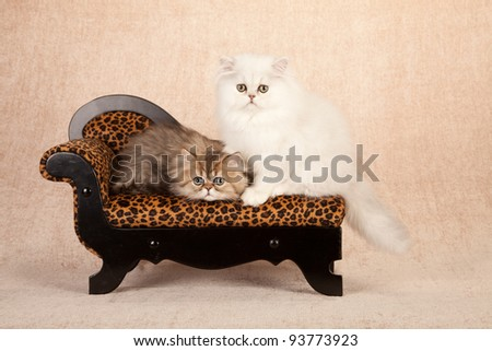 Silver and Golden Chinchilla Persian kitten sitting on leopard print couch on beige background - stock photo