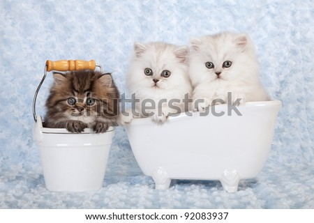 Silver and golden chinchilla persian kittens in bath and bucket on blue background - stock photo
