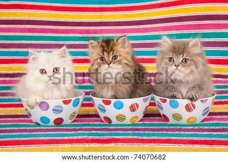 Silver and Golden Chinchilla Persian kittens in colorful bowls on striped background - stock photo