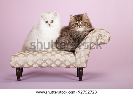 Silver and Golden Chinchilla Persian kittens on grey chaise on lavender background - stock photo