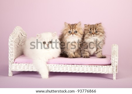 Silver and Golden Chinchilla Persian kittens on miniature white wicker bed on lavender background - stock photo