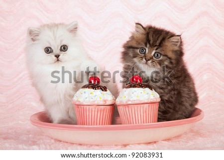 Silver and golden chinchilla persian kittens with fake cupcakes on pink background - stock photo