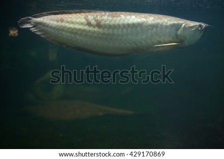 Silver arowana (Osteoglossum bicirrhosum). Wildlife animal.  - stock photo