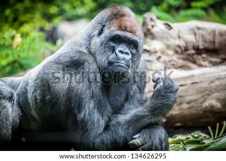 silver-back big male gorilla on zoo - stock photo