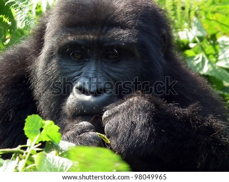 Silver-back eating the leaves in  the forest of Uganda - stock photo