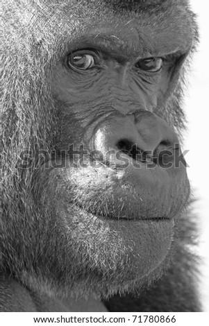 Silver back Gorilla Face - stock photo