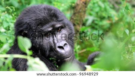 Silver-back gorilla hiding in the bush - stock photo