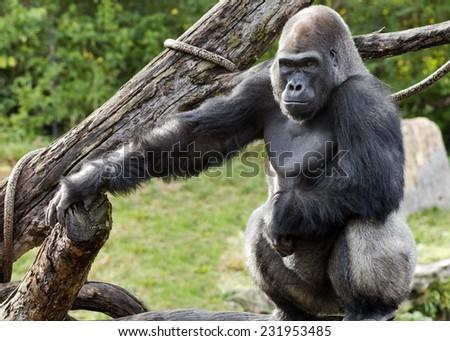 silver back gorilla poses for a portrait - stock photo