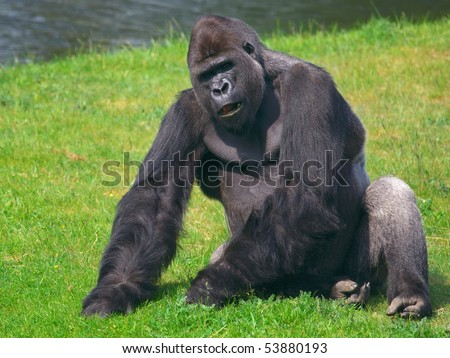Silver back gorilla sitting in a field of grass