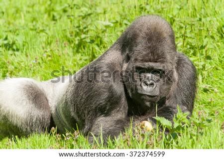 Silver back Male Gorilla (Gorilla Gorilla Gorilla) - stock photo