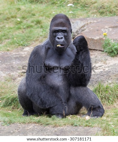 Silver backed male Gorilla, enjoying some fruit