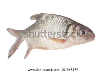 Silver barb or Java barb isolated on a white background with clipping path