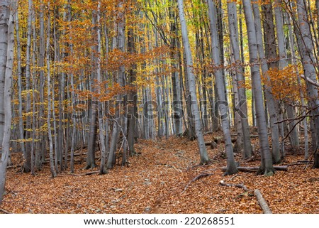 silver beech tree  against the dry leaves  - stock photo