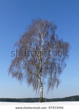 Silver birch, Betula verrucosa - stock photo