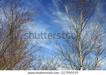 Silver Birch Branches Against Sky - stock photo
