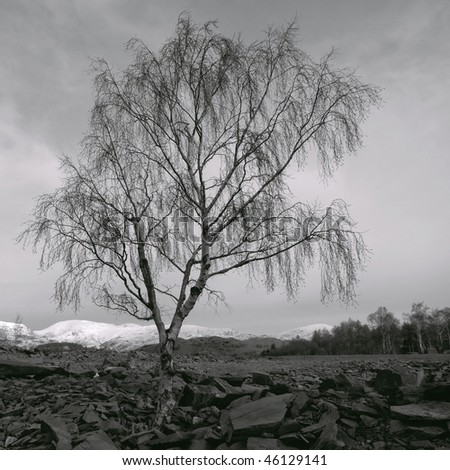 Silver Birch in winter - stock photo