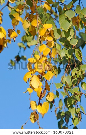 Silver birch leaves and catkins against blue sky.