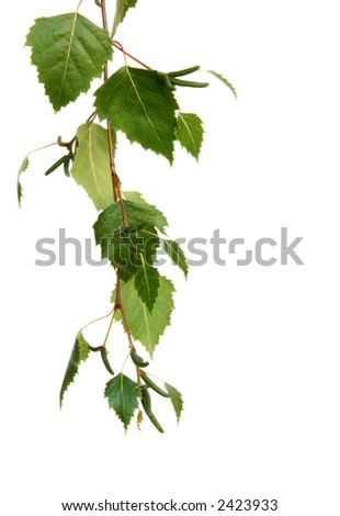Silver birch leaves form a hanging border, isolated on white. - stock photo