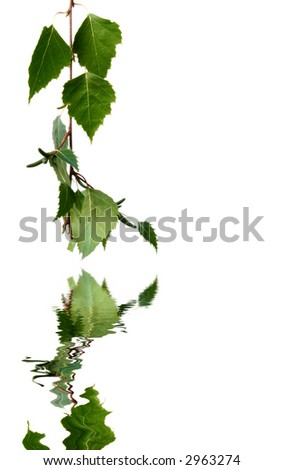 Silver birch leaves reflected in water on white. - stock photo