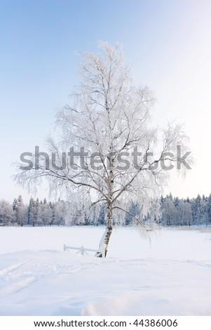 Silver birch, tree in hoarfrost, snow plain - stock photo