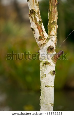 Silver birch tree with copy space and selective focus. - stock photo