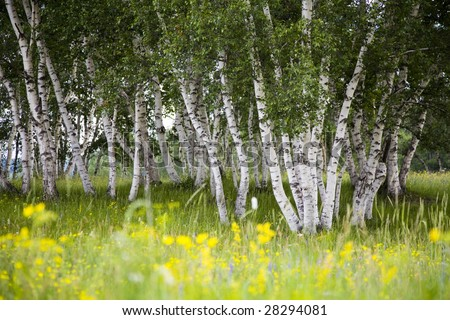 Silver birches and flowers in summer - stock photo