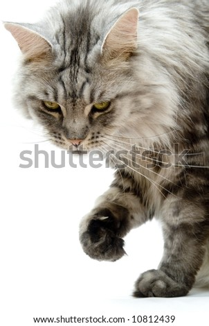 Silver black tabby maine coon cat - stock photo